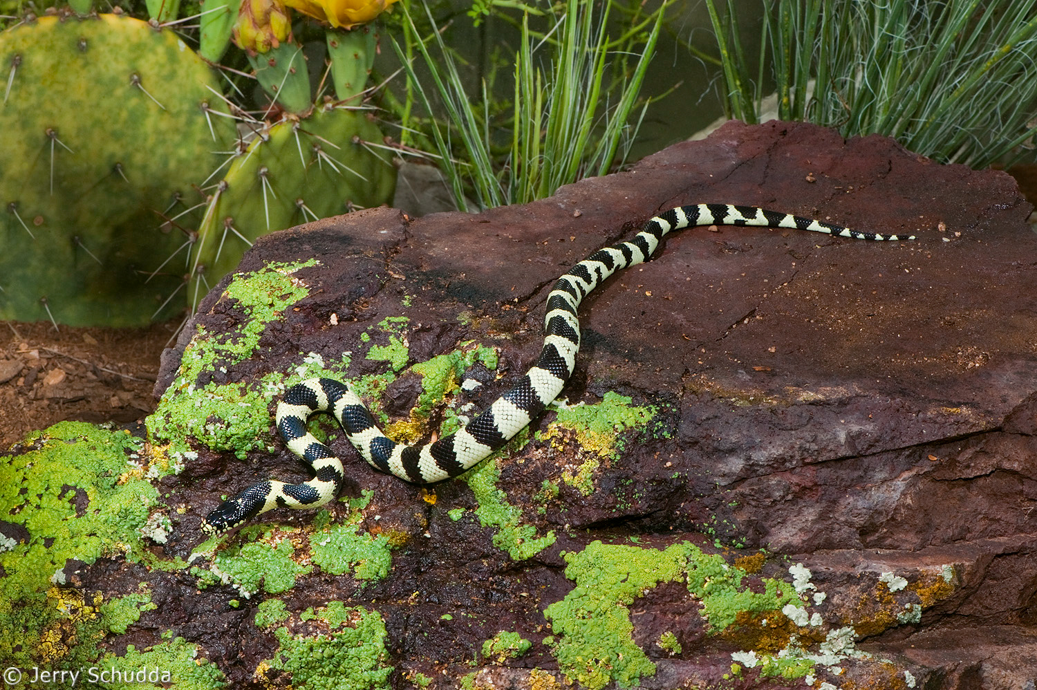 Common Kingsnake 1