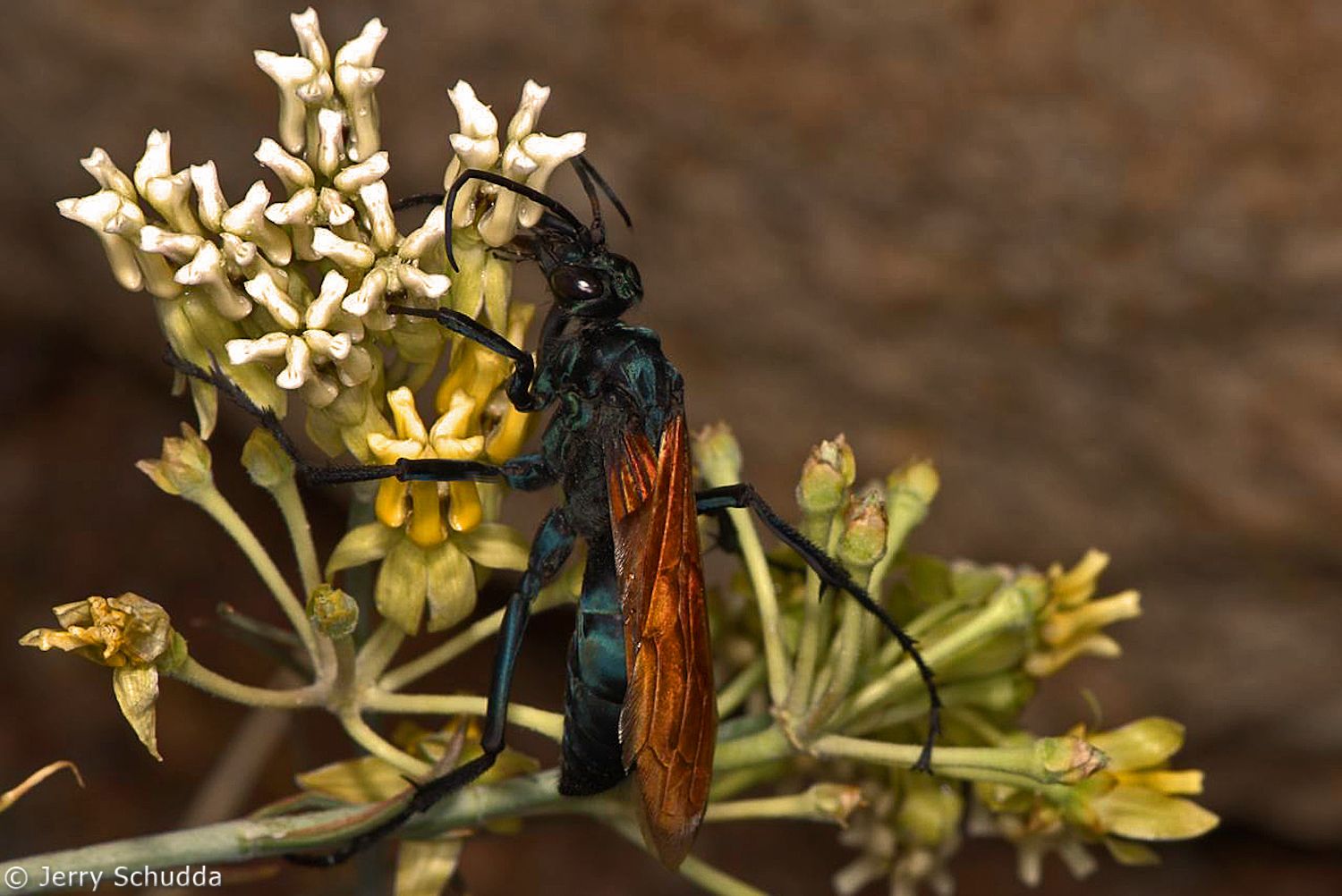 Tarantula Hawk (Pepsis species) - 1