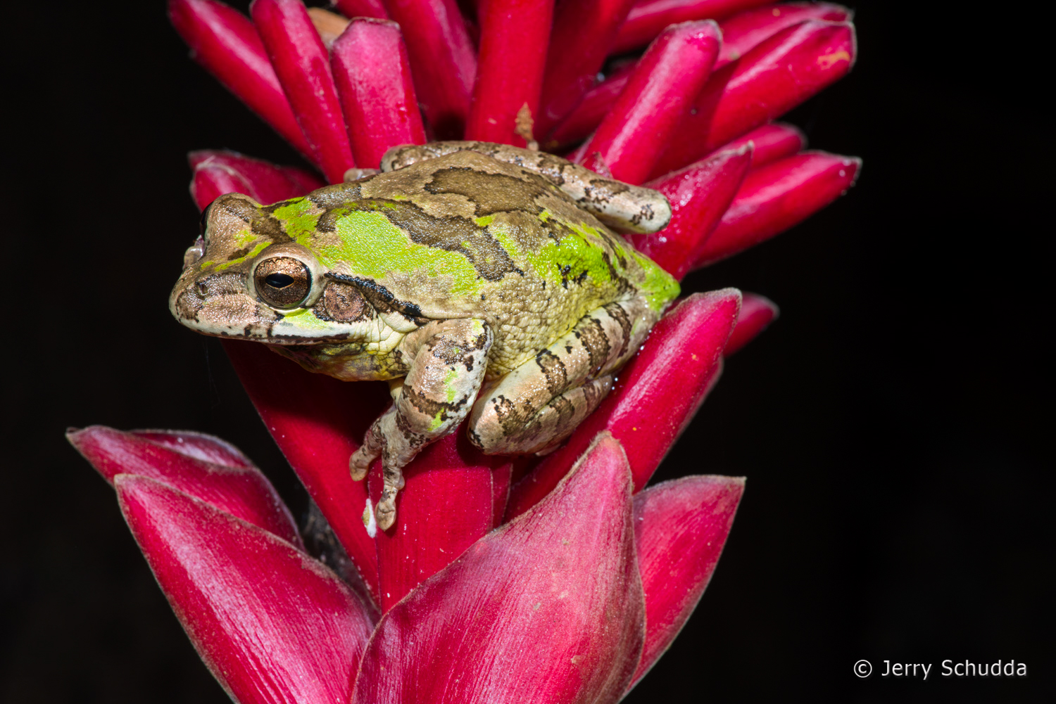 Common Mexican Treefrog 1