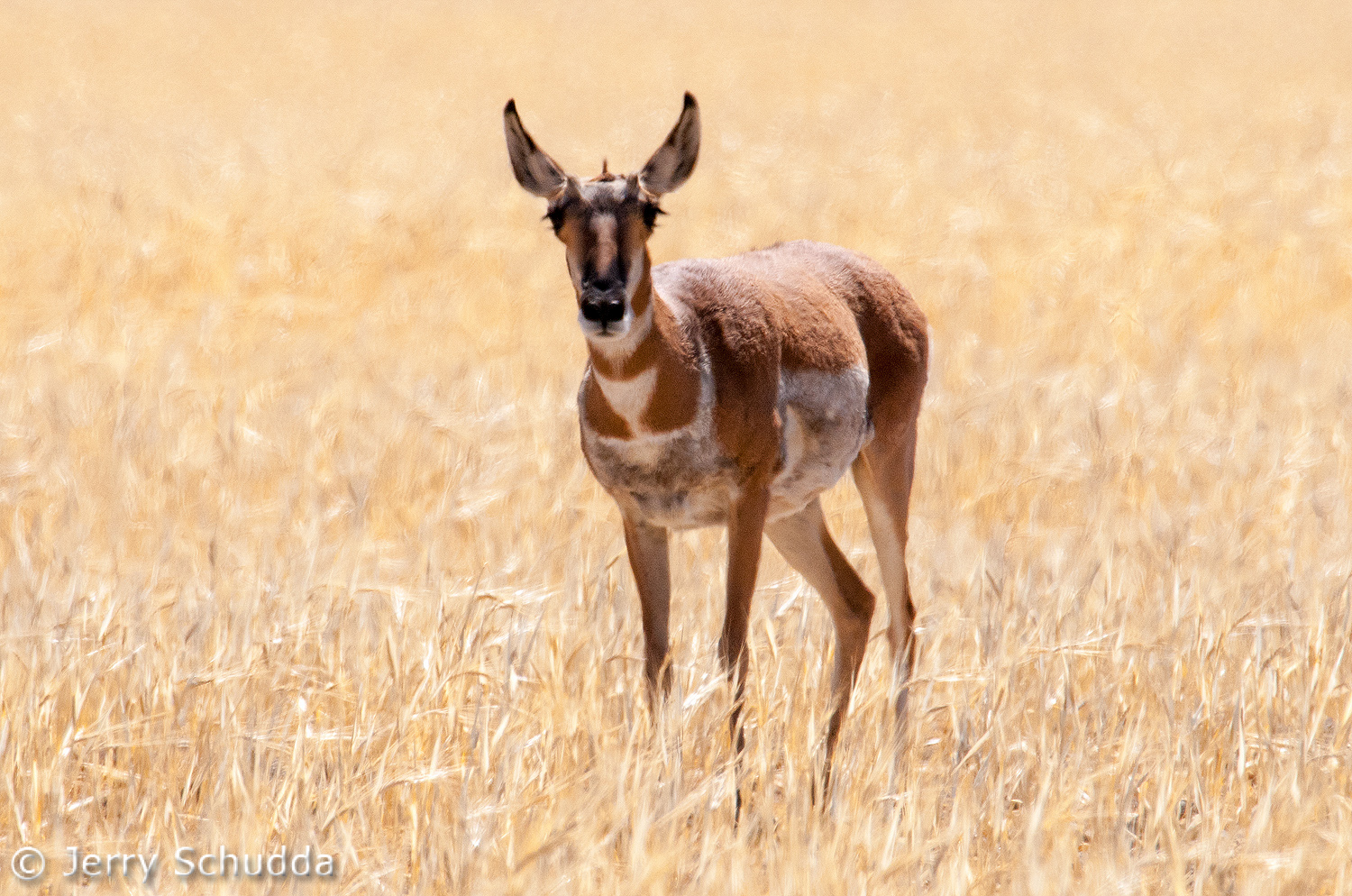 Pronghorn female 2