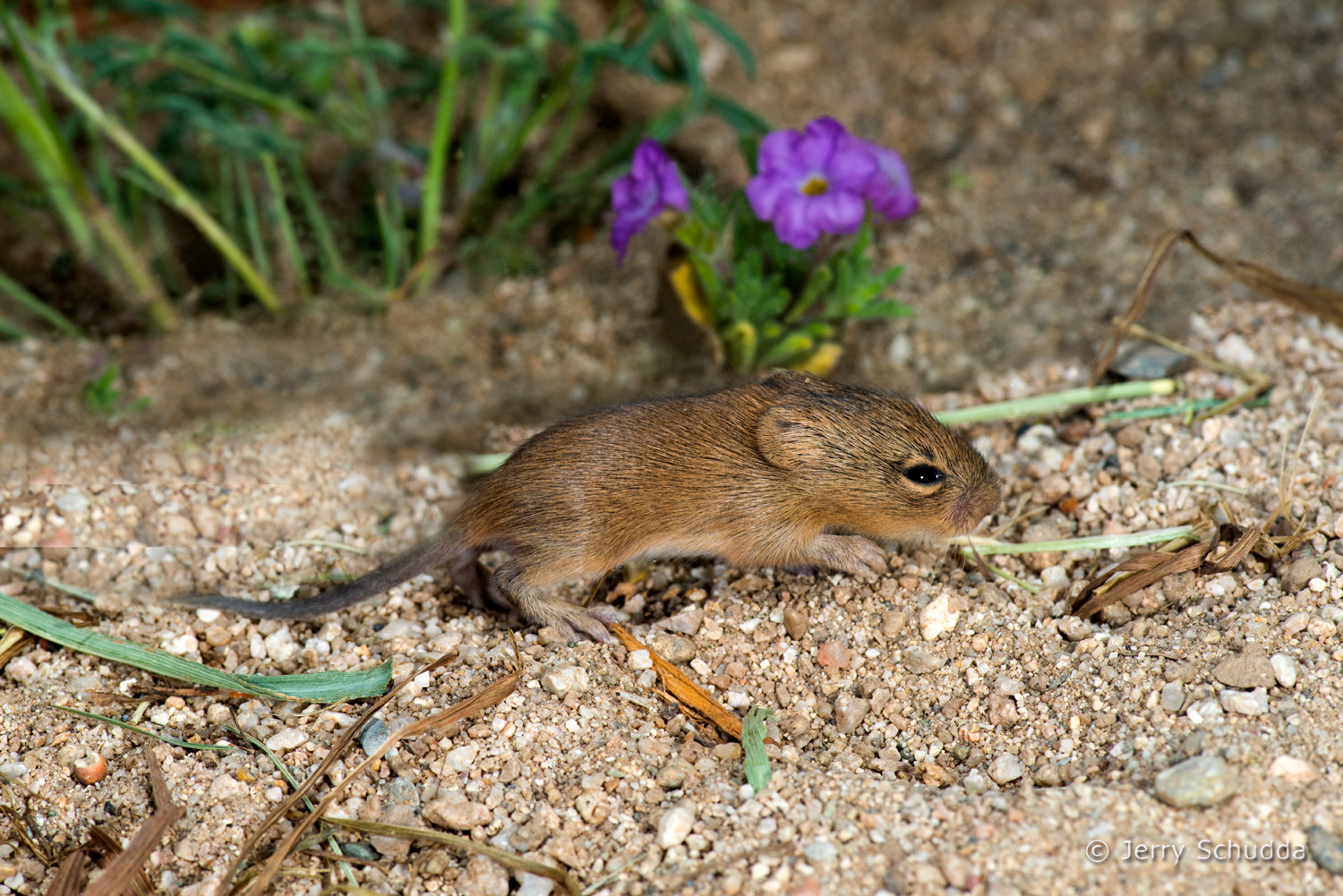 Hispid Cotton Rat 2