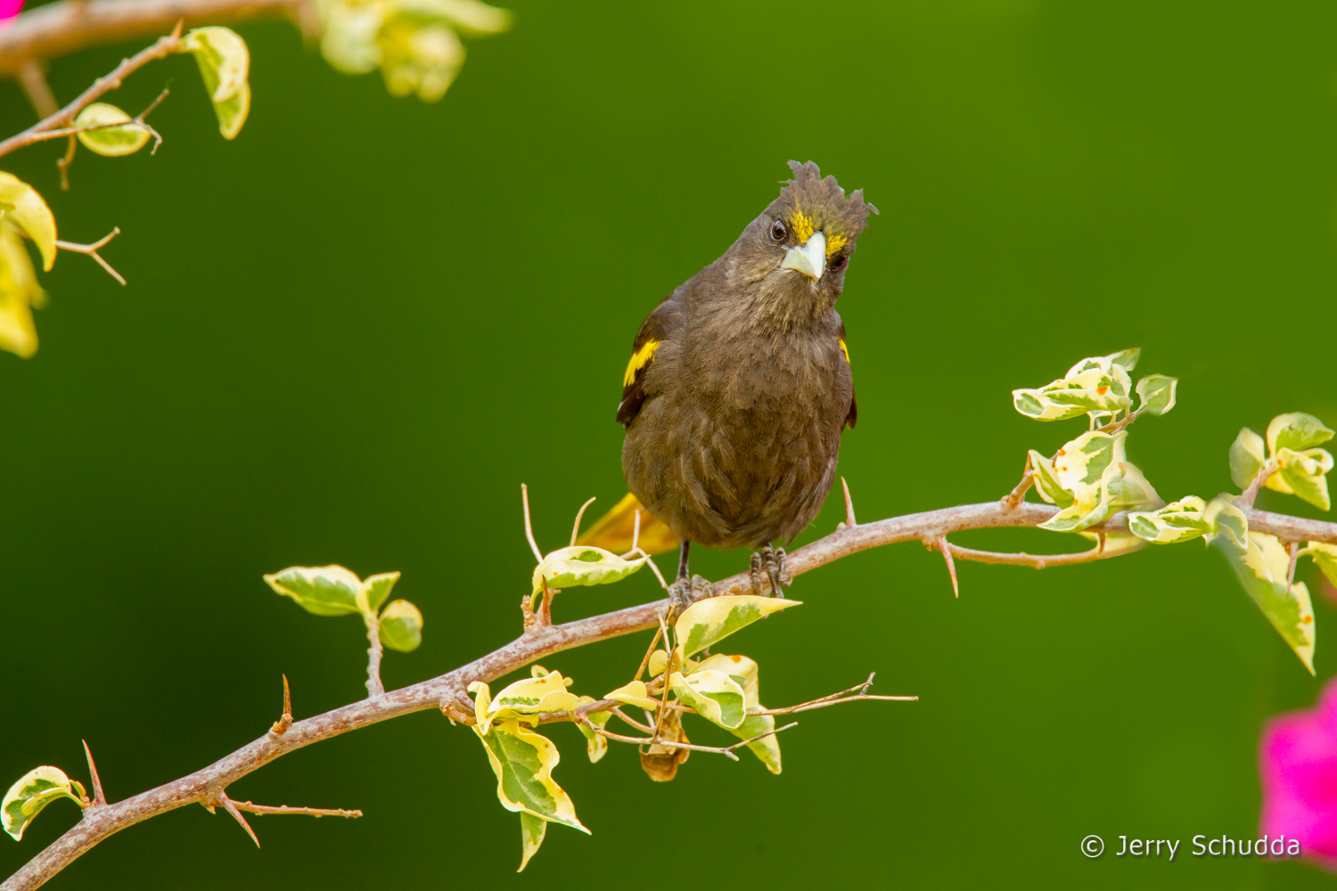 Yellow-winged Cacique 1