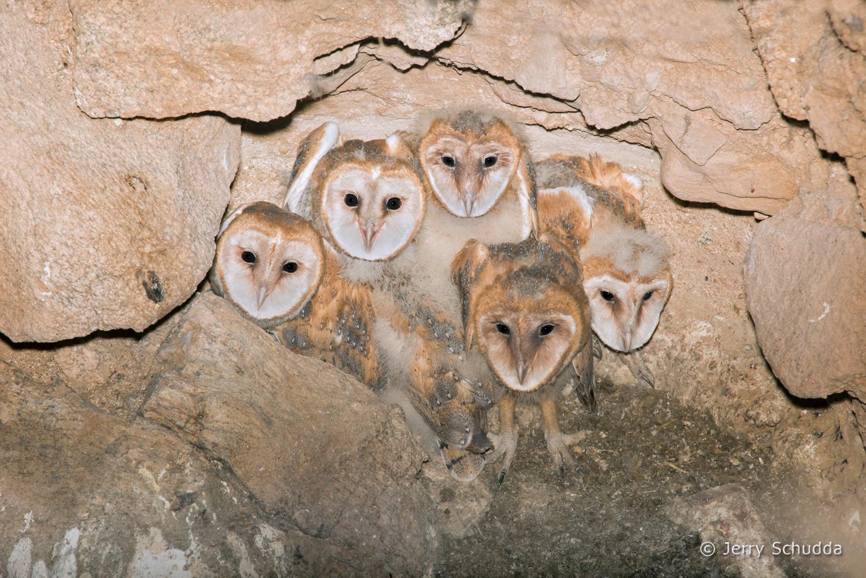 Barn Owl 15