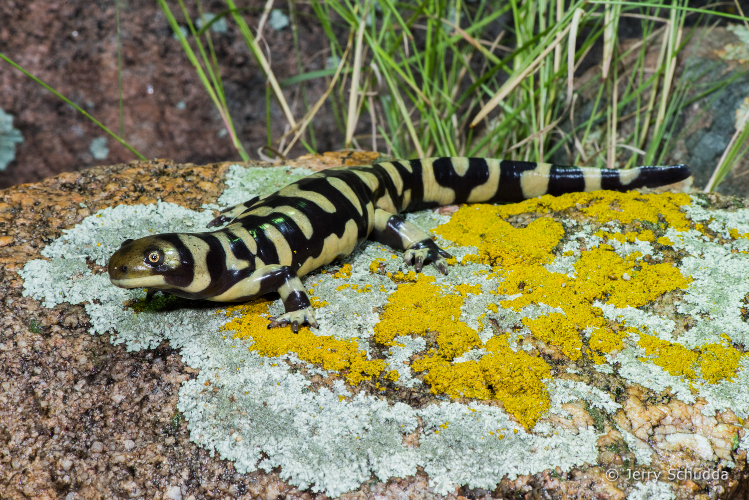 Barred Tiger Salamander 1