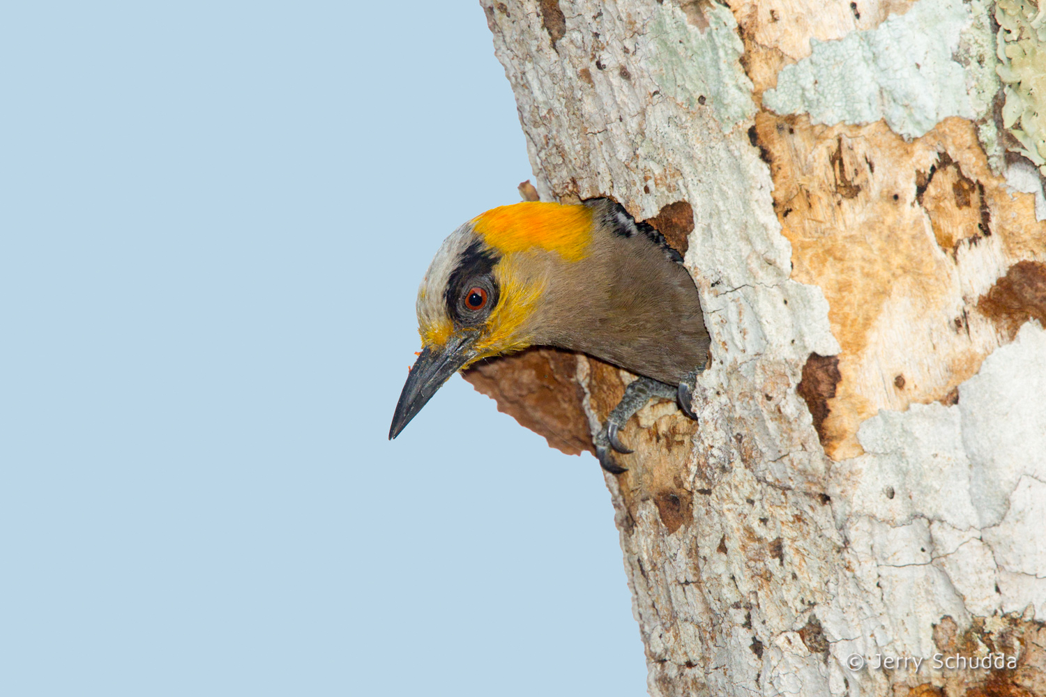 Golden-cheeked Woodpecker 1