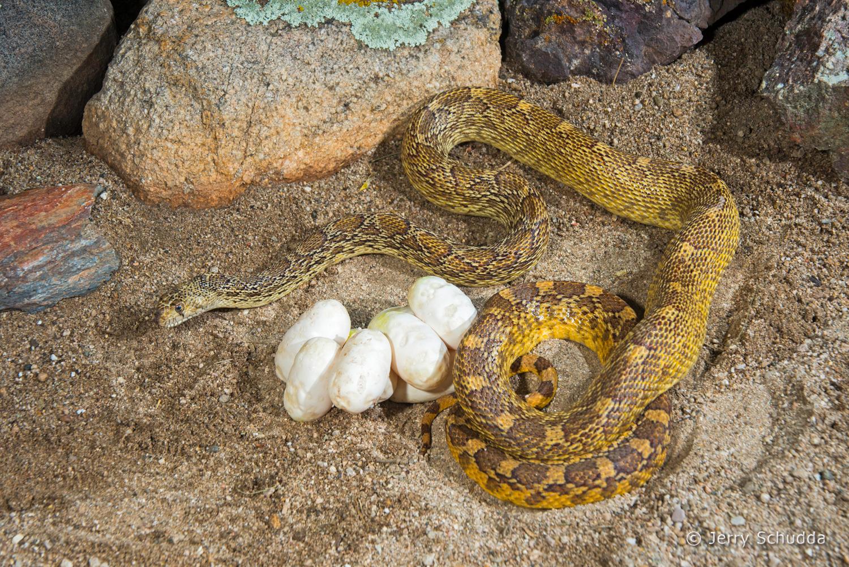 Gopher snake 7