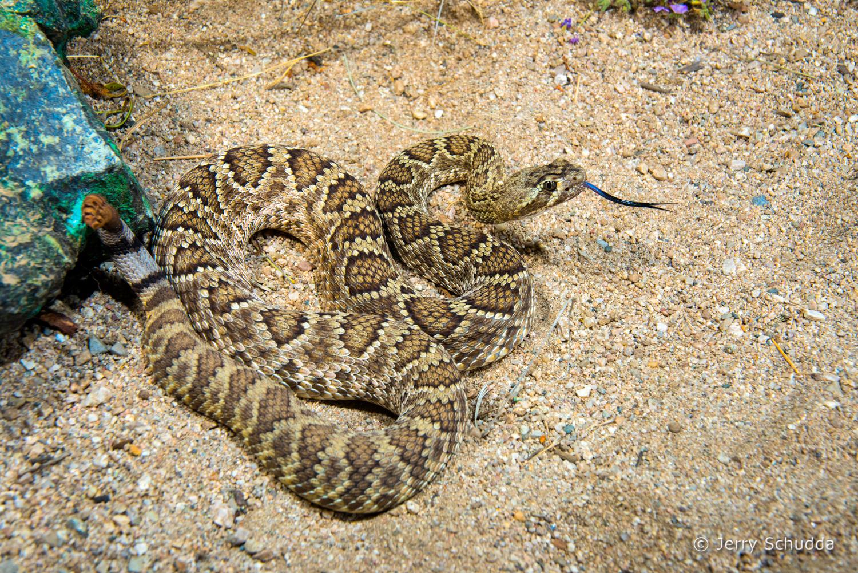 Mohave Rattlesnake 15