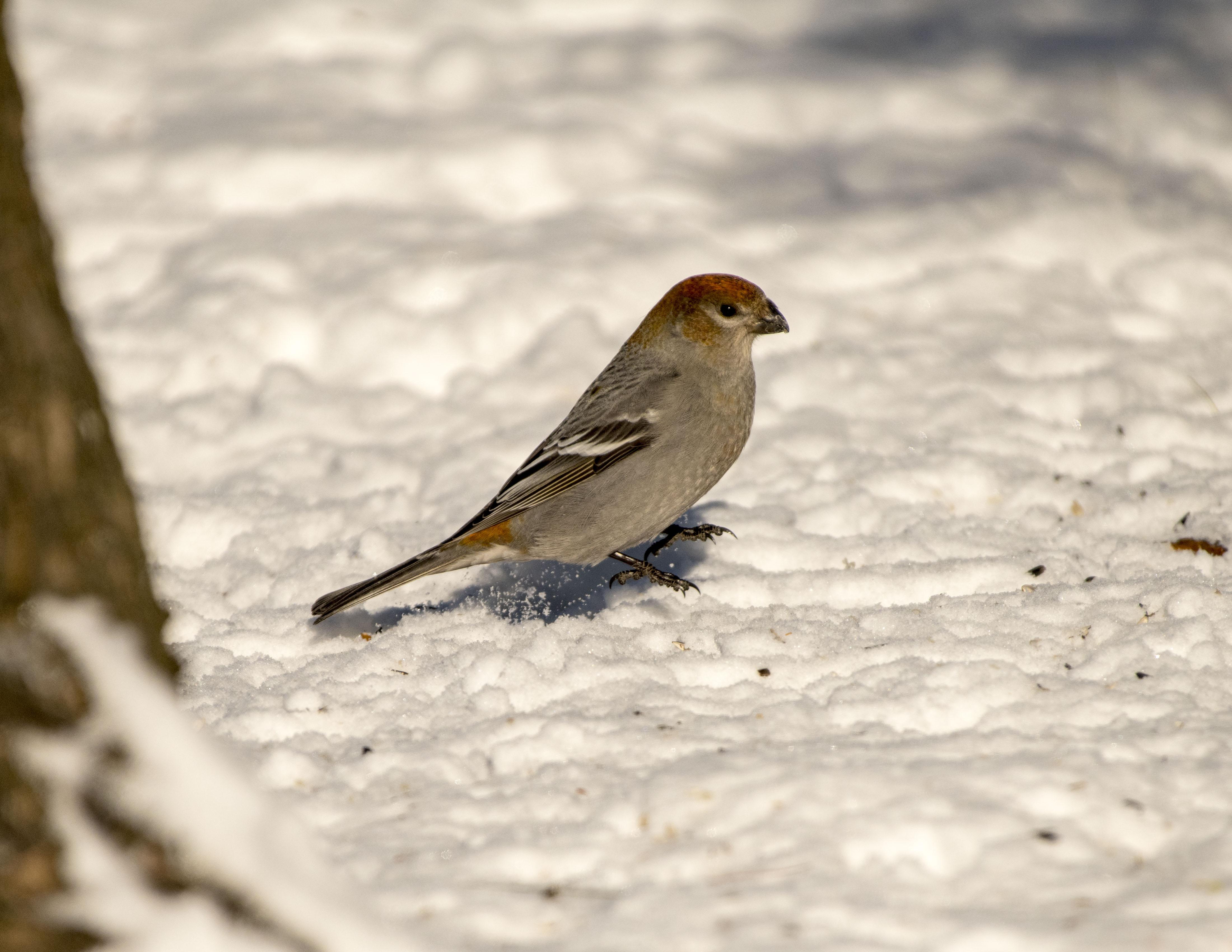 Pine Grosbeak 1