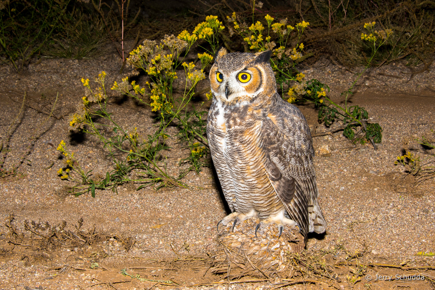 Great Horned Owl 13