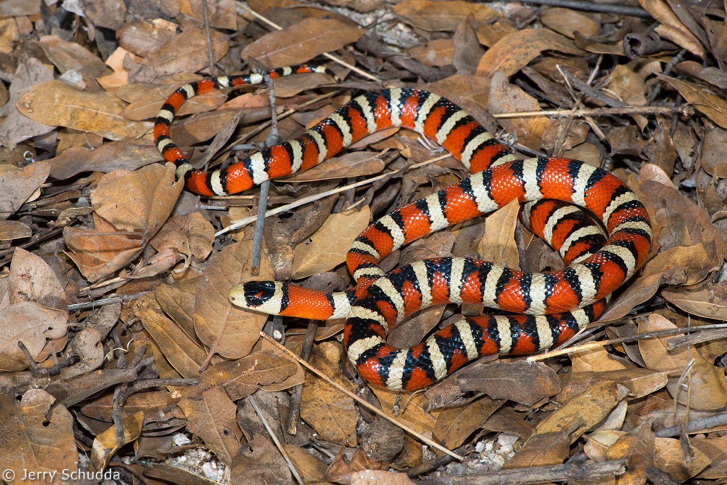 Sonoran Mountain Kingsnake 1