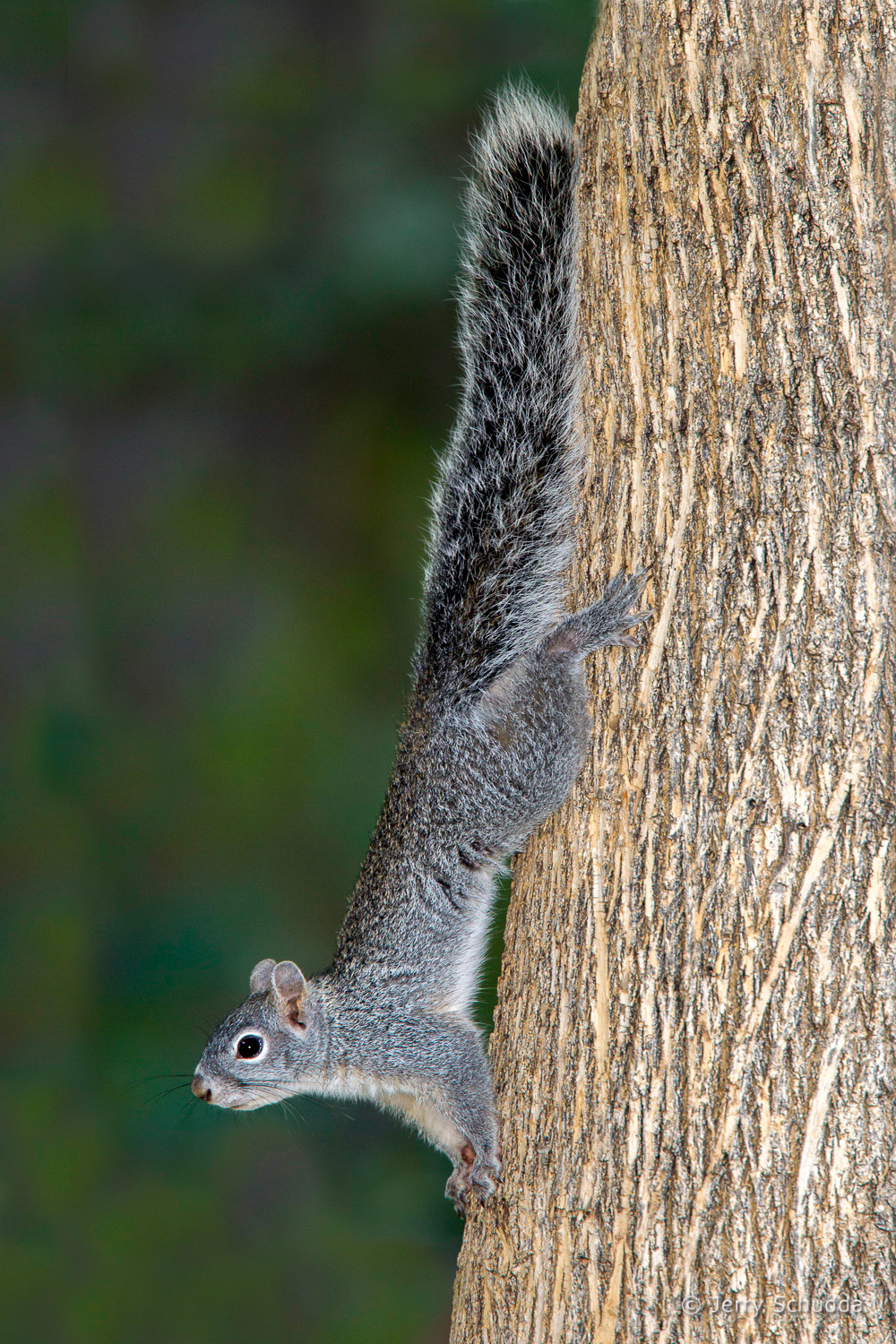 Arizona Gray Squirrel 1