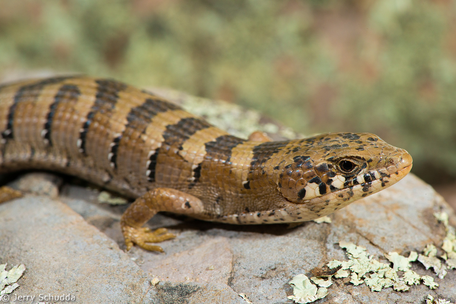 Madrean Alligator Lizard 1
