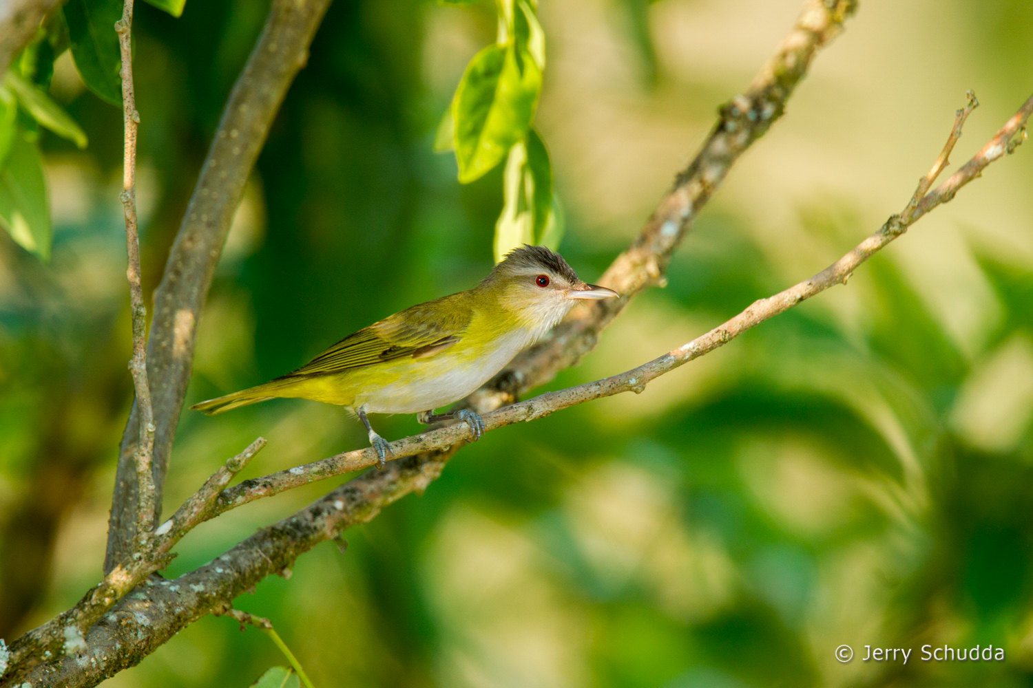Yellow-green Vireo 2
