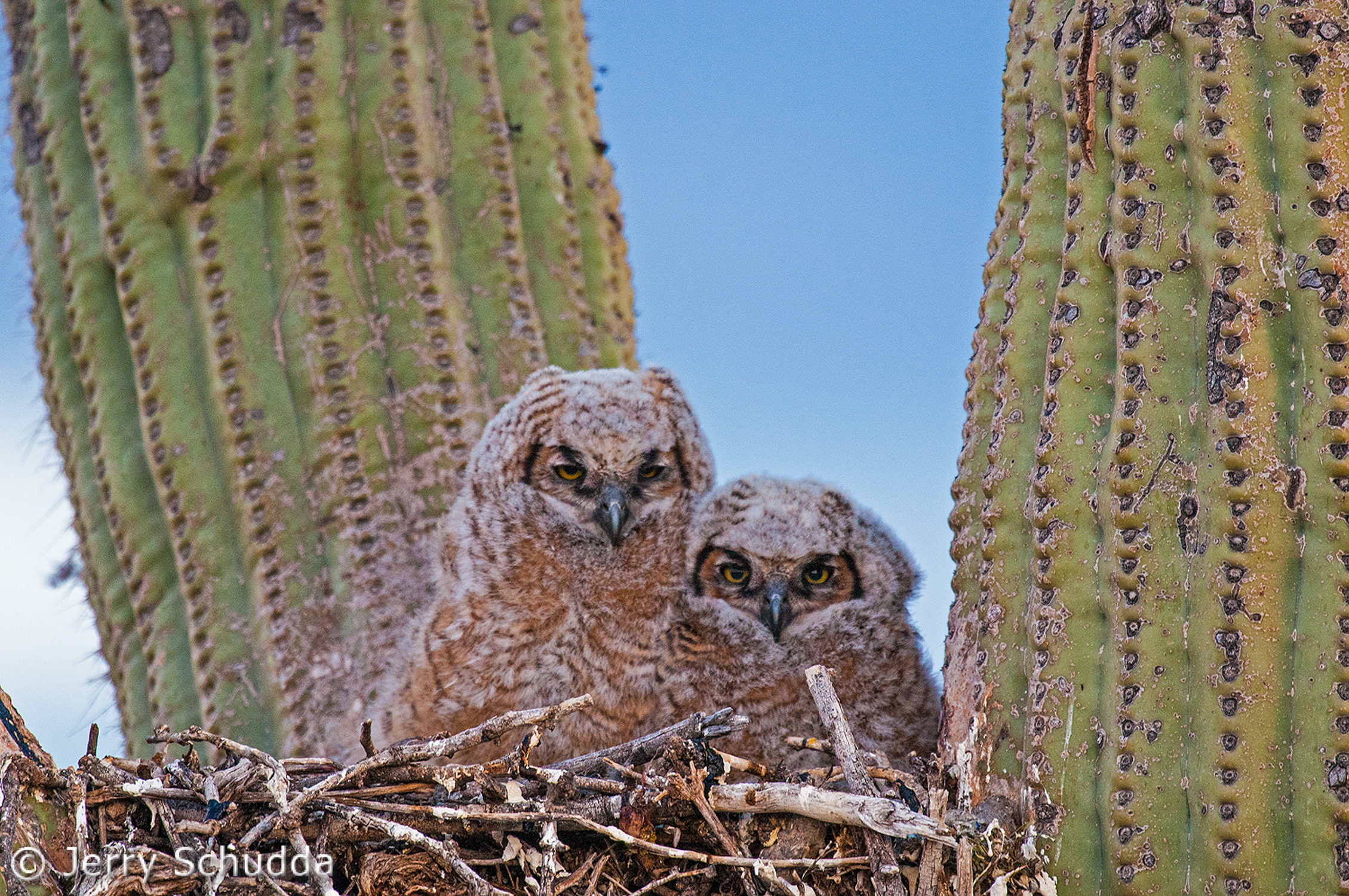 Great Horned Owl owlets 3
