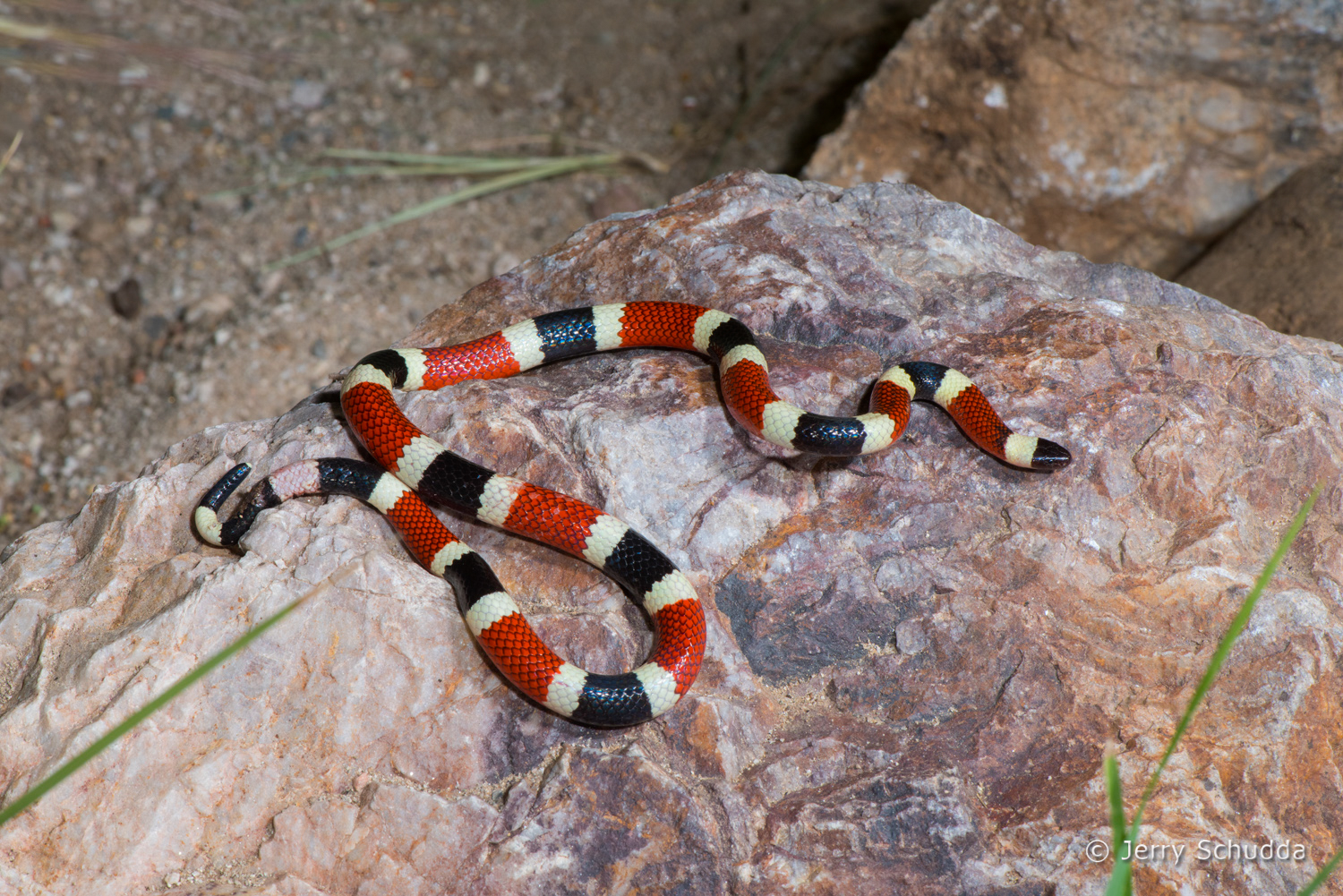 Sonoran Coralsnake 3