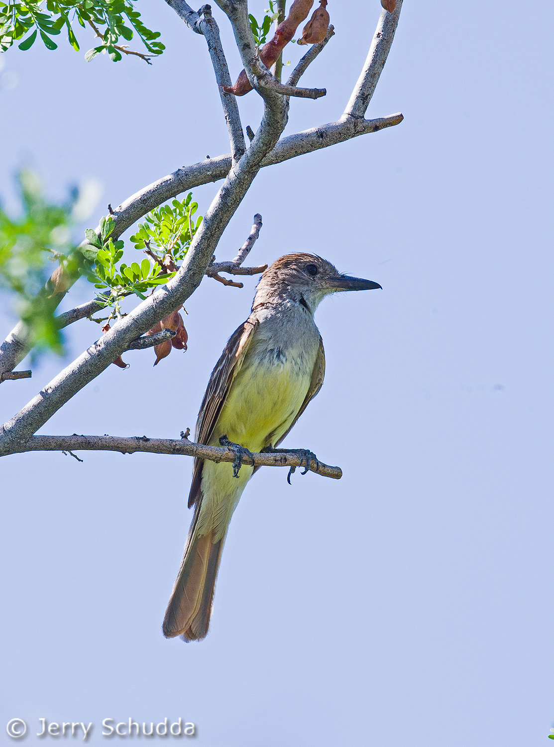 Brown-crested Flycatcher 1