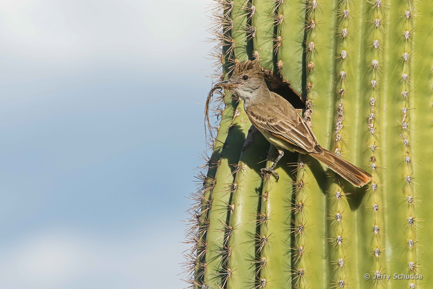 Ash-throated Flycatcher 6