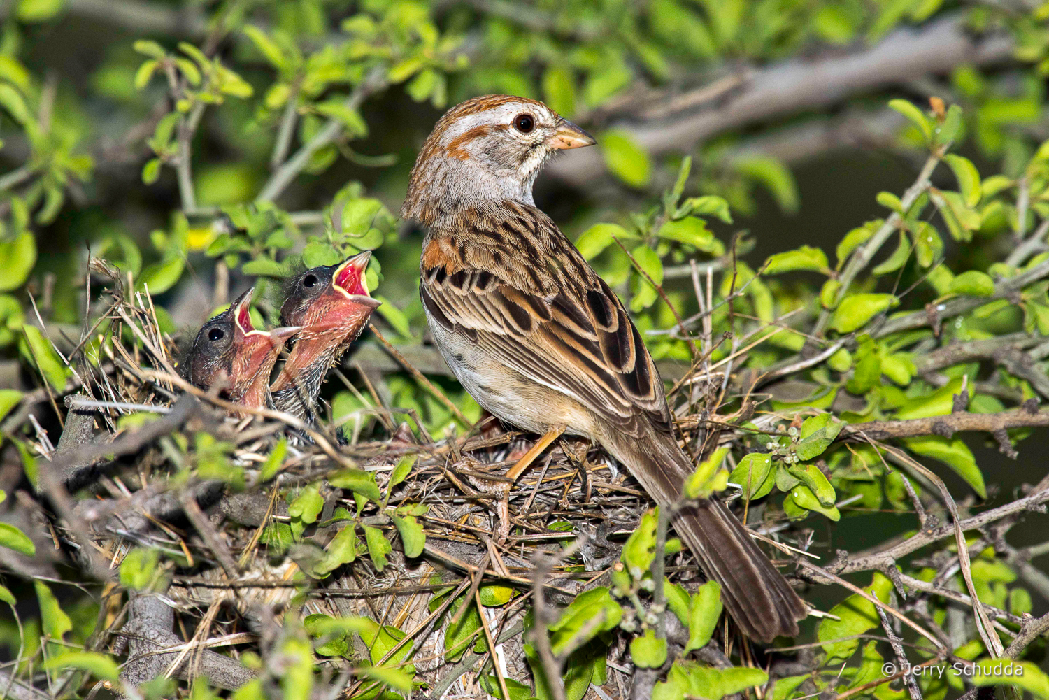 Rufous-winged Sparrow 1