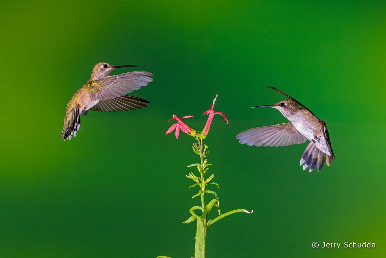 Black-chinned Hummingbird  4