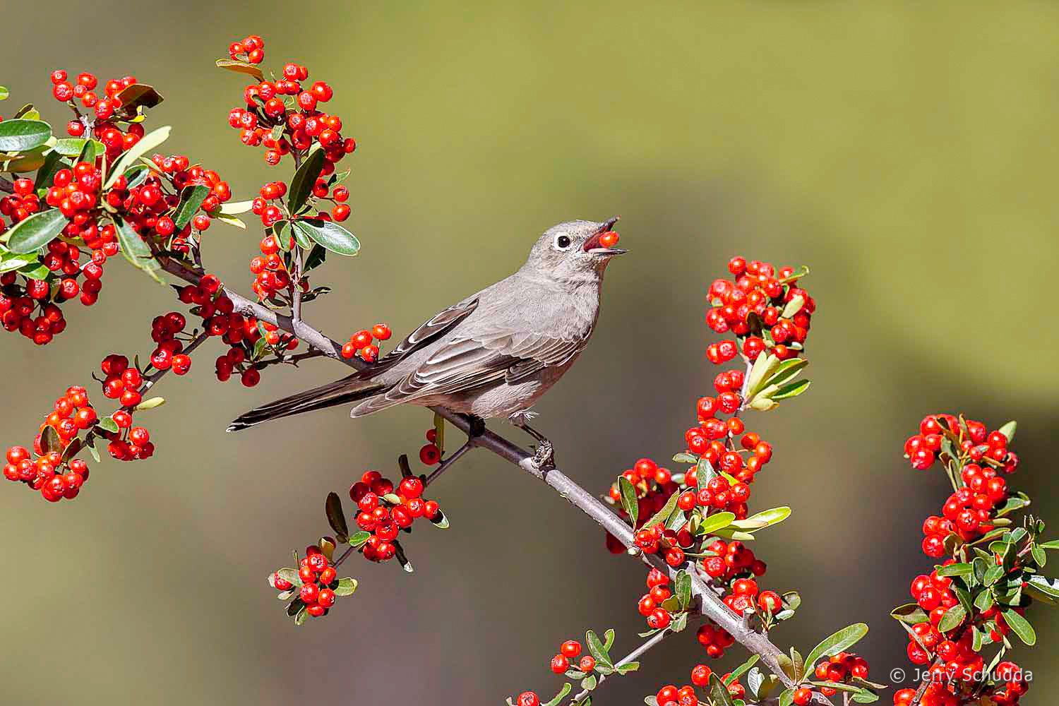 Townsend's Solitaire 3