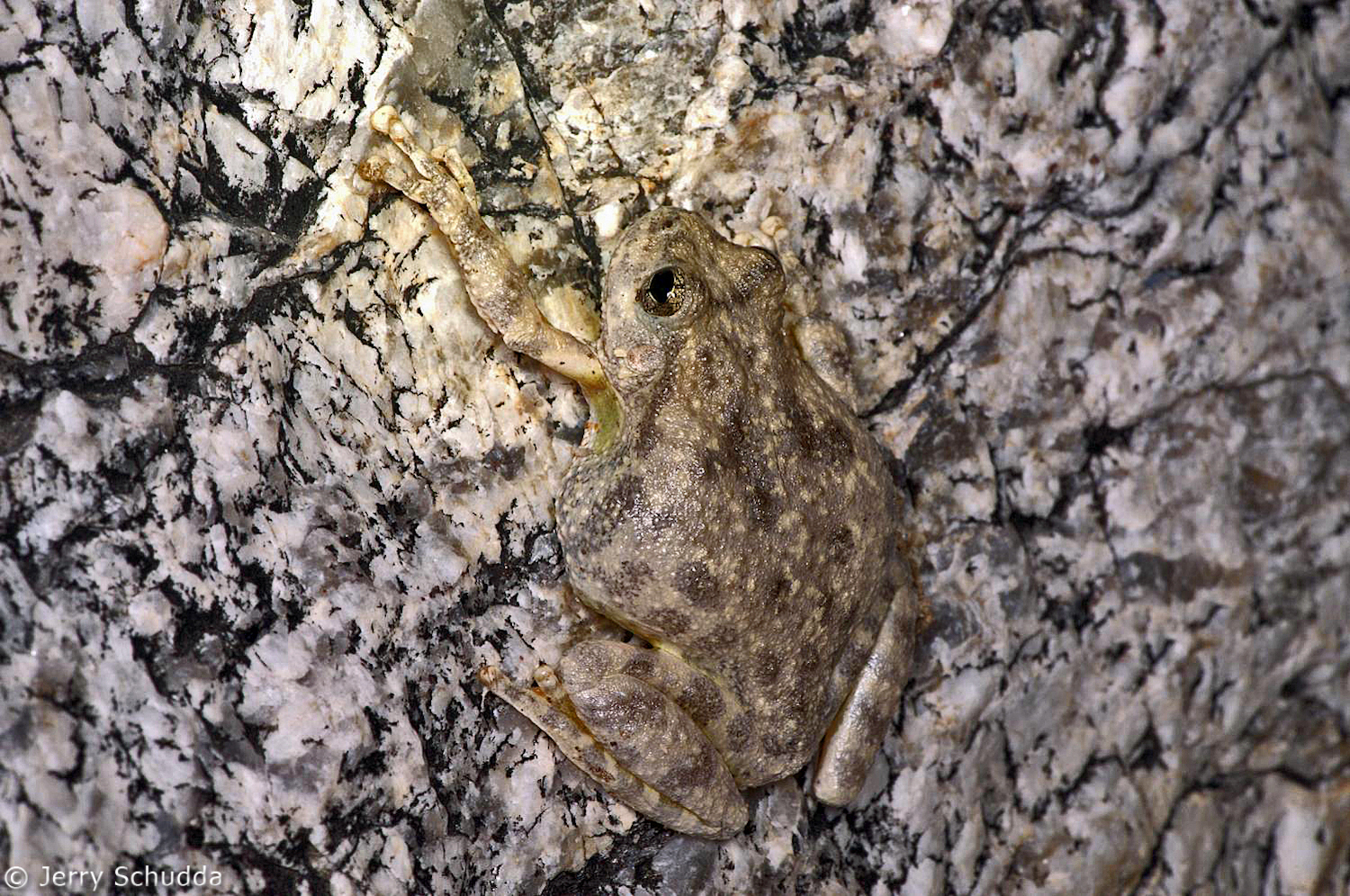 Canyon Tree Frog 1