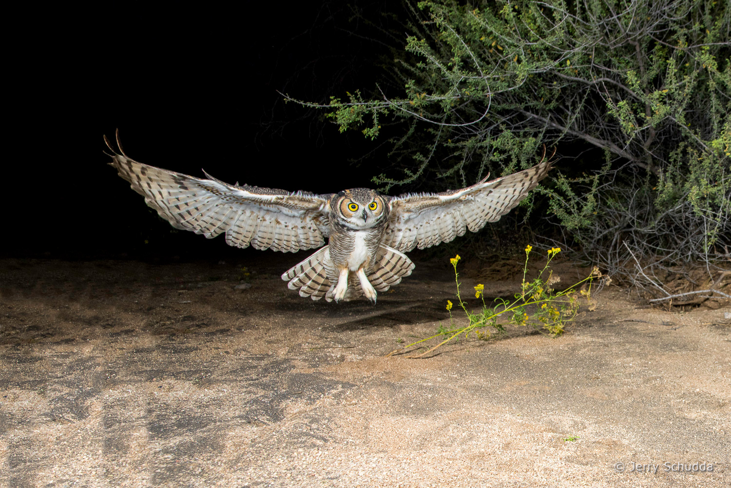 Great Horned Owl 16