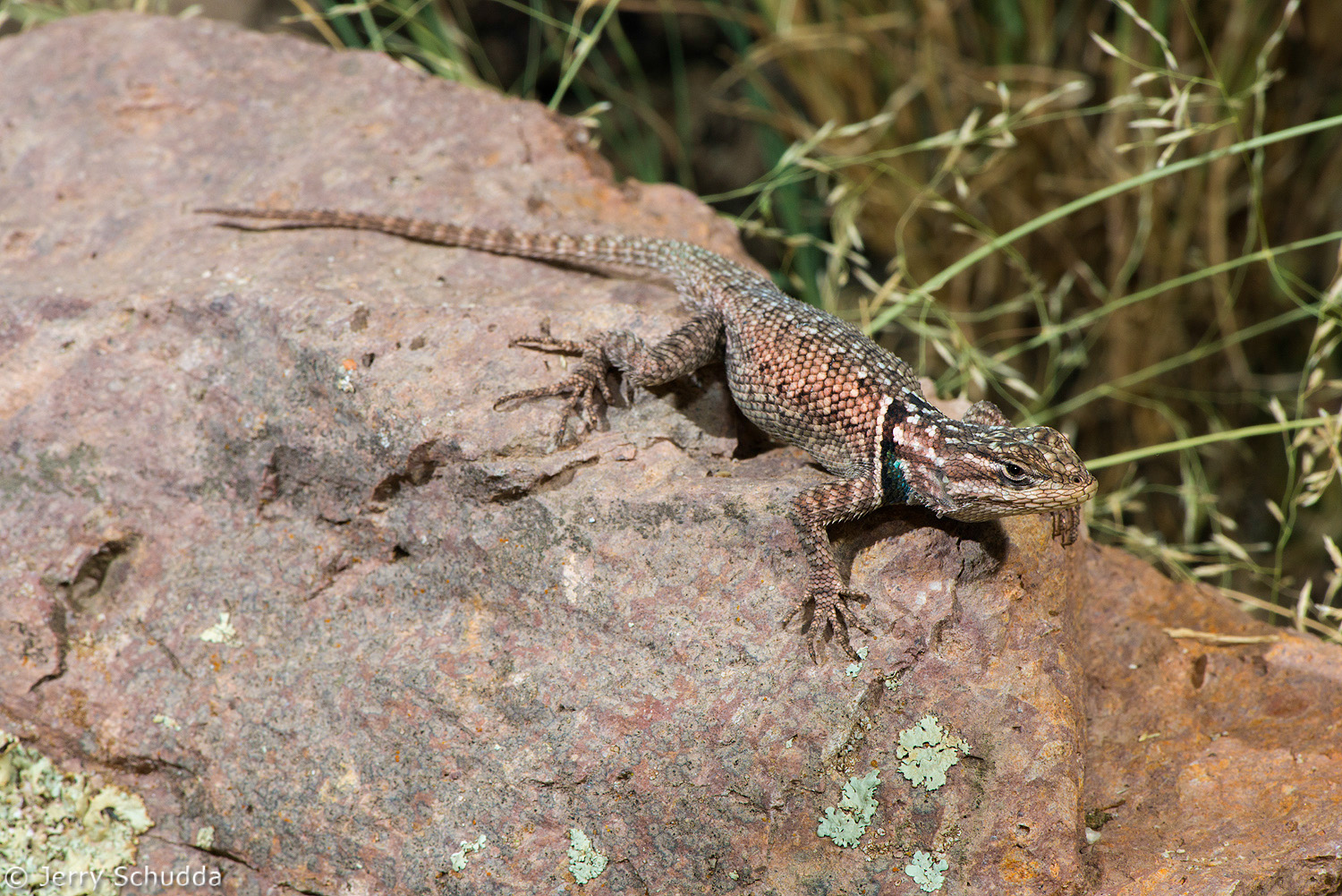 Mountain Spiny Lizard 4
