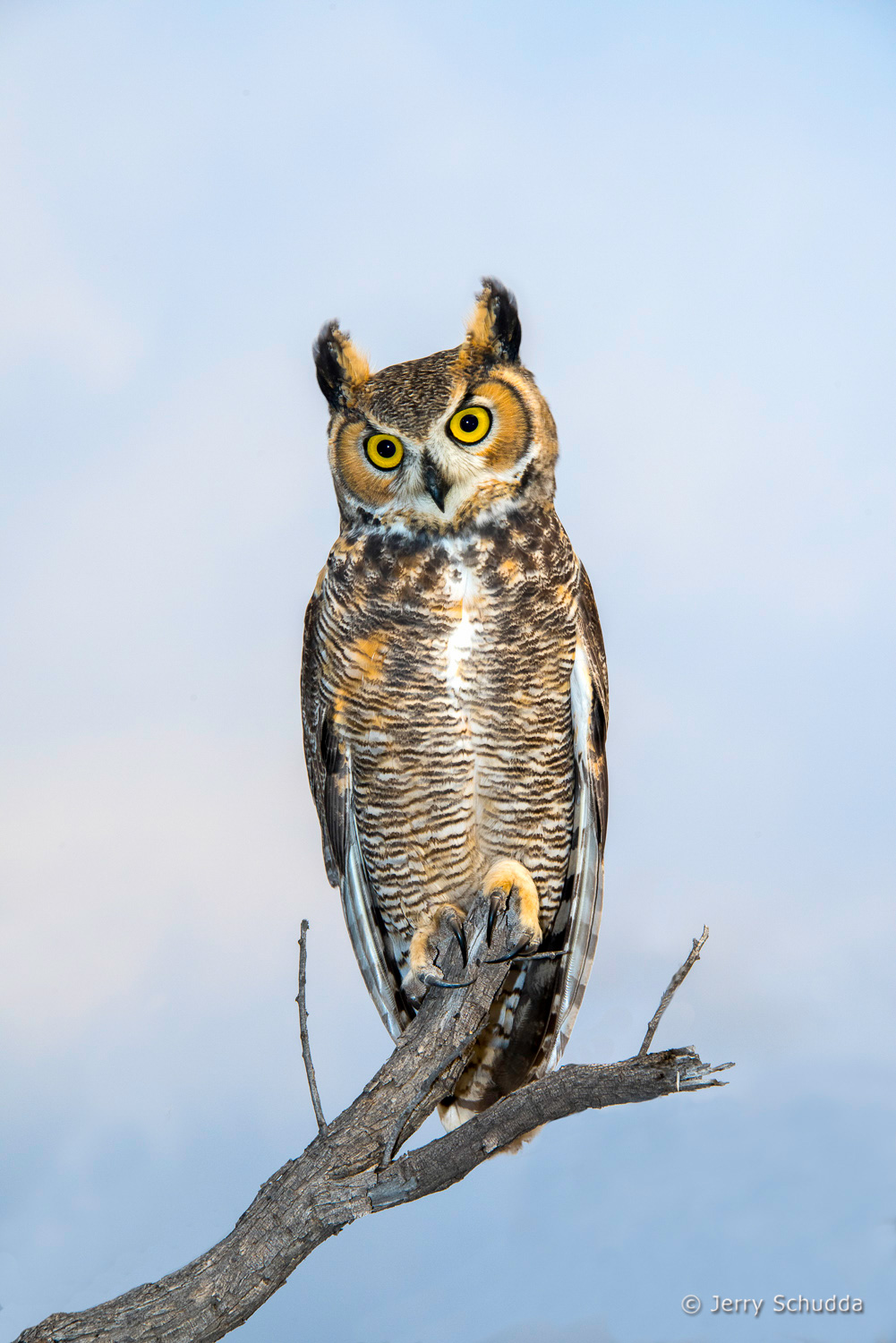 Great Horned Owl 9