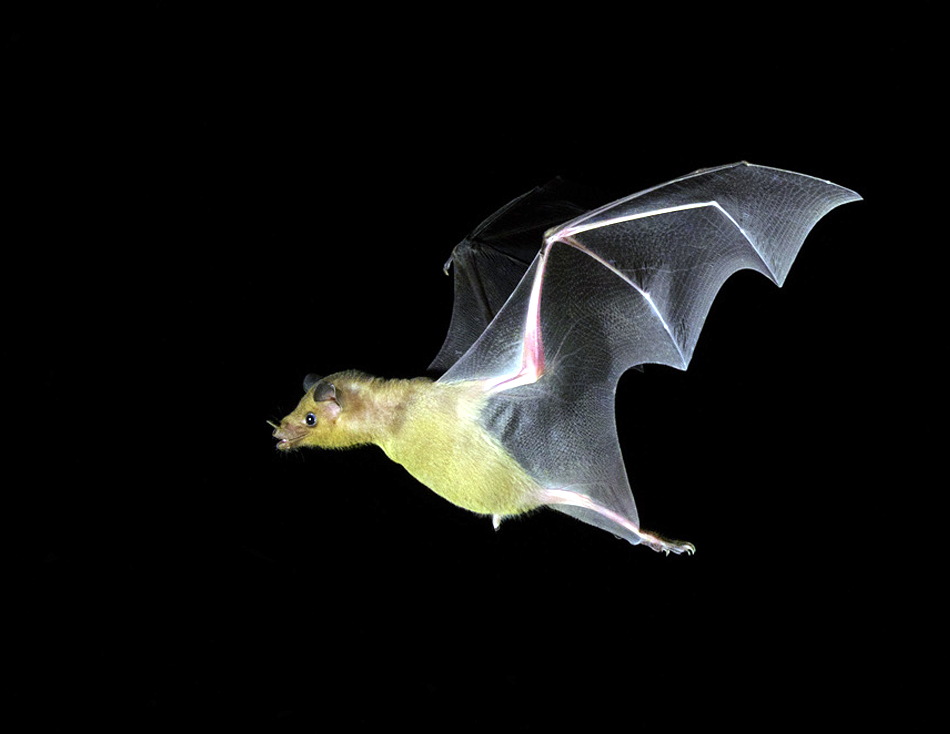Lesser Long-nosed Bat 5