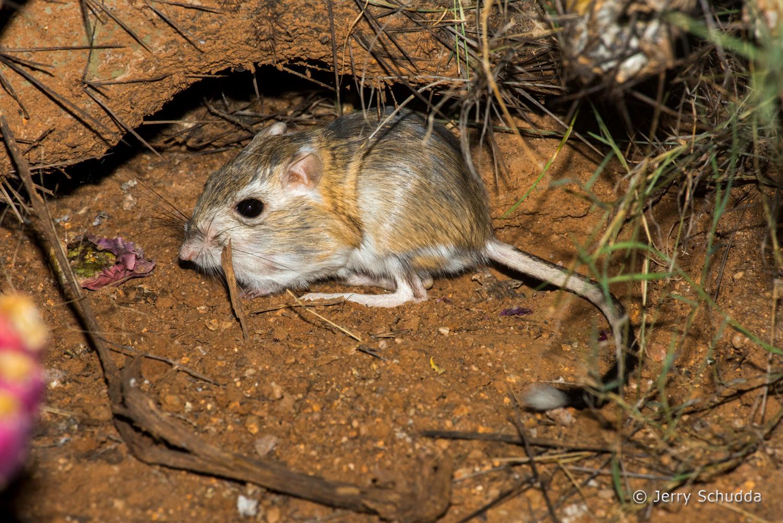 Banner-tailed Kangaroo Rat 1