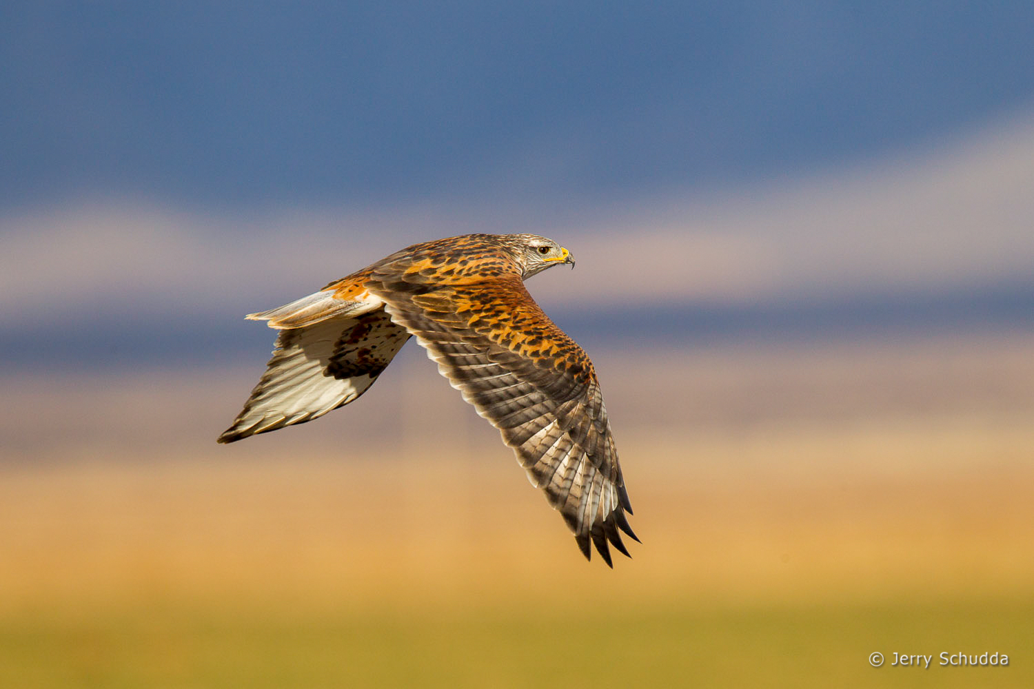 Ferruginous Hawk 3