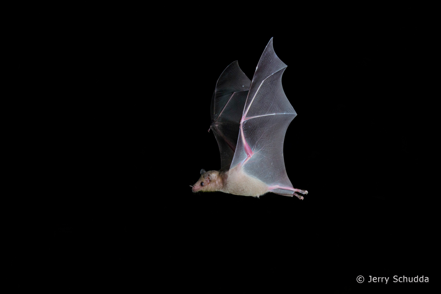 Lesser Long-nosed Bat  2