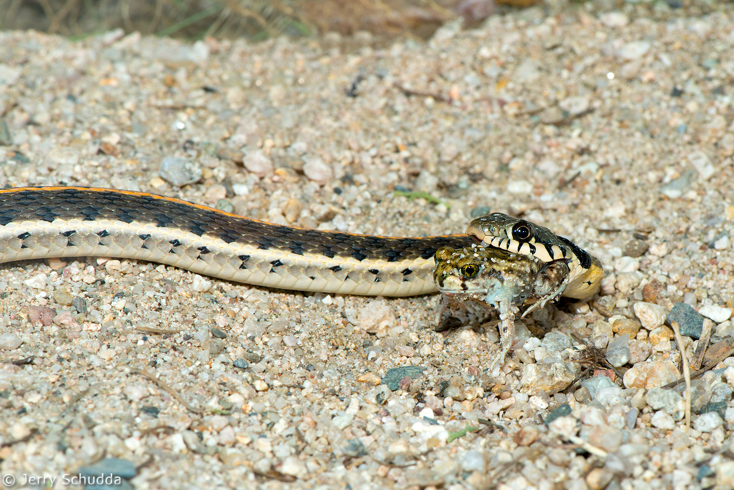 Black-necked Gartersnake 3