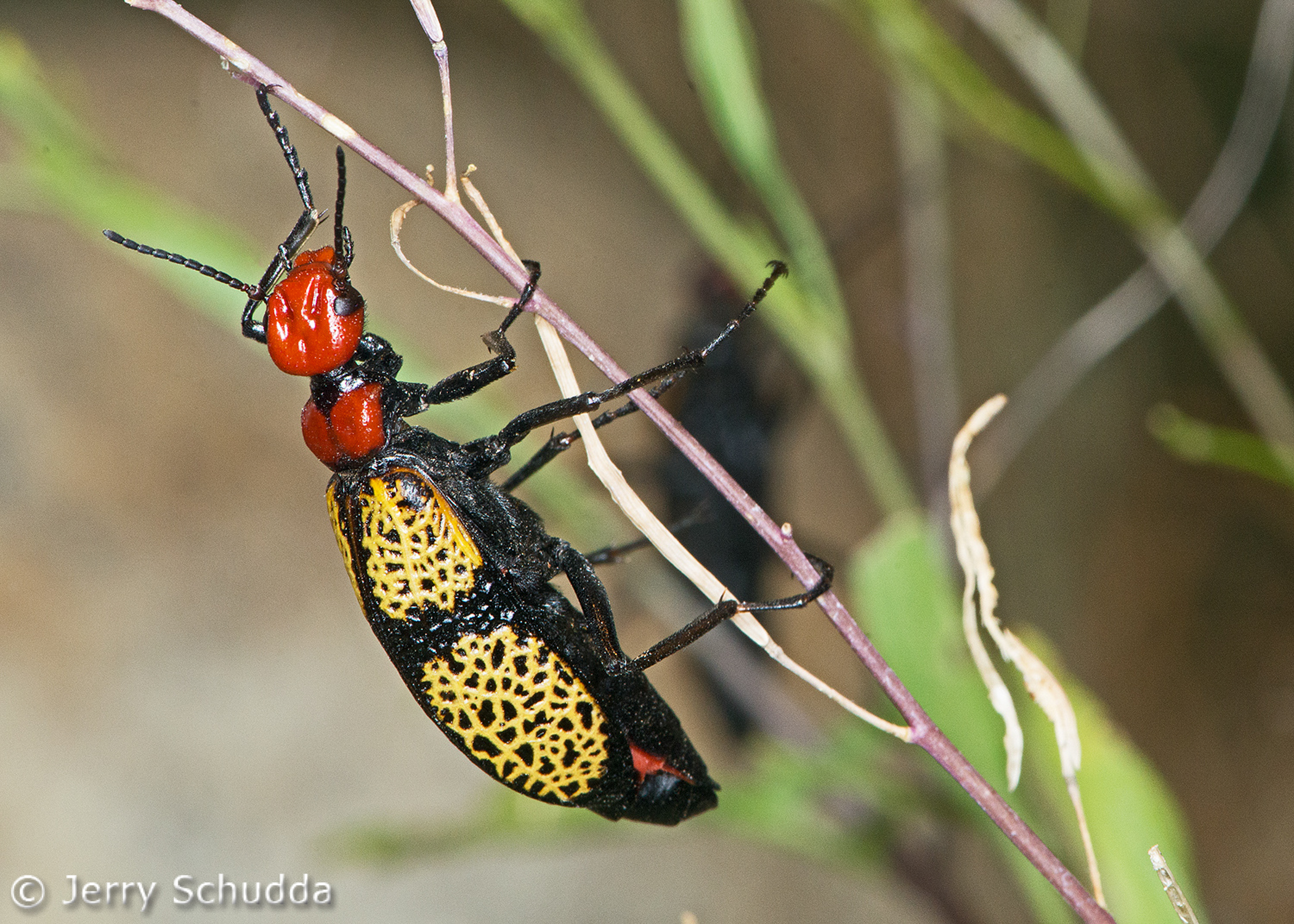 Iron - Cross Blister Beetle 1