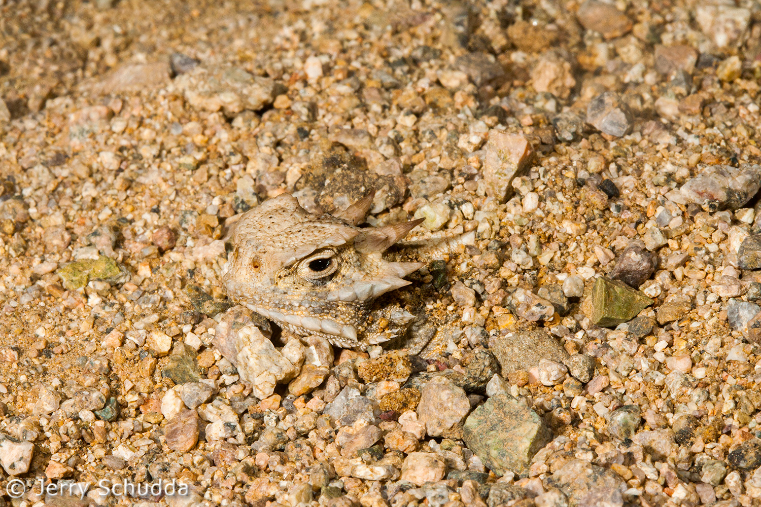 Desert Horned Lizard 3