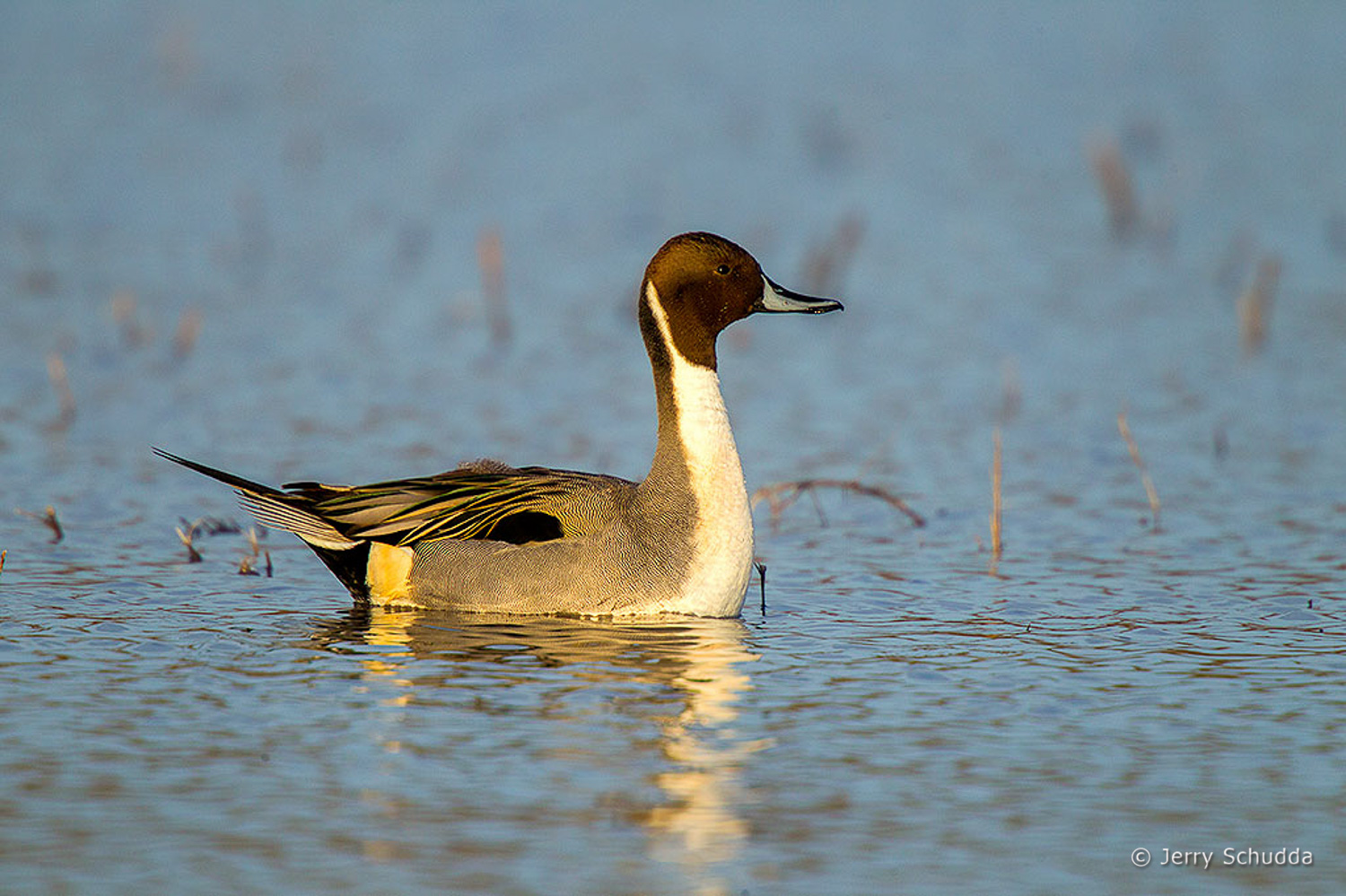 Northern Pintail 2
