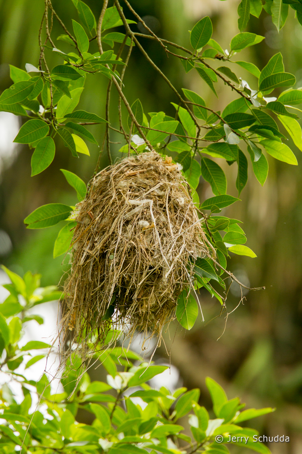 Rose-throated Becard - nest 3