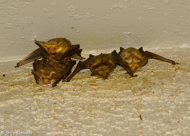 Pallid Bat 1