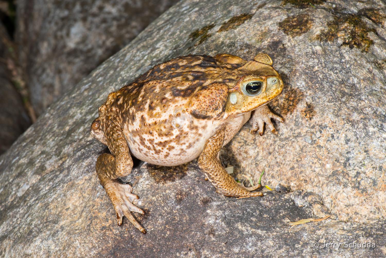 Marine Toad 1