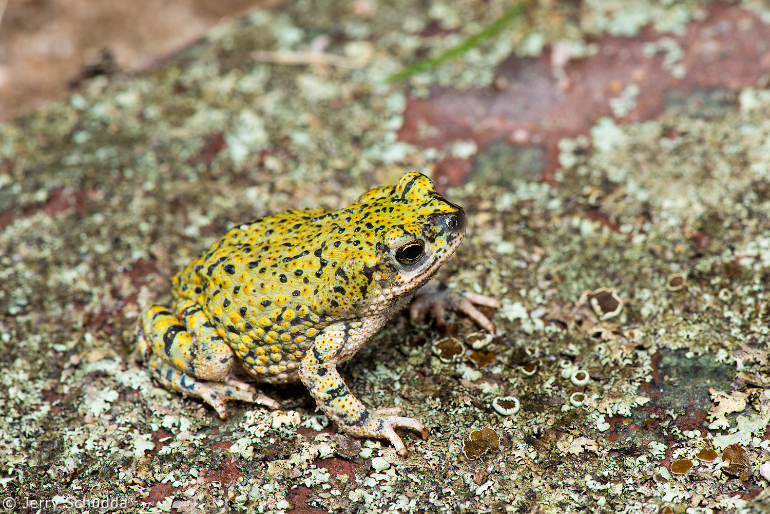 Green Toad 1