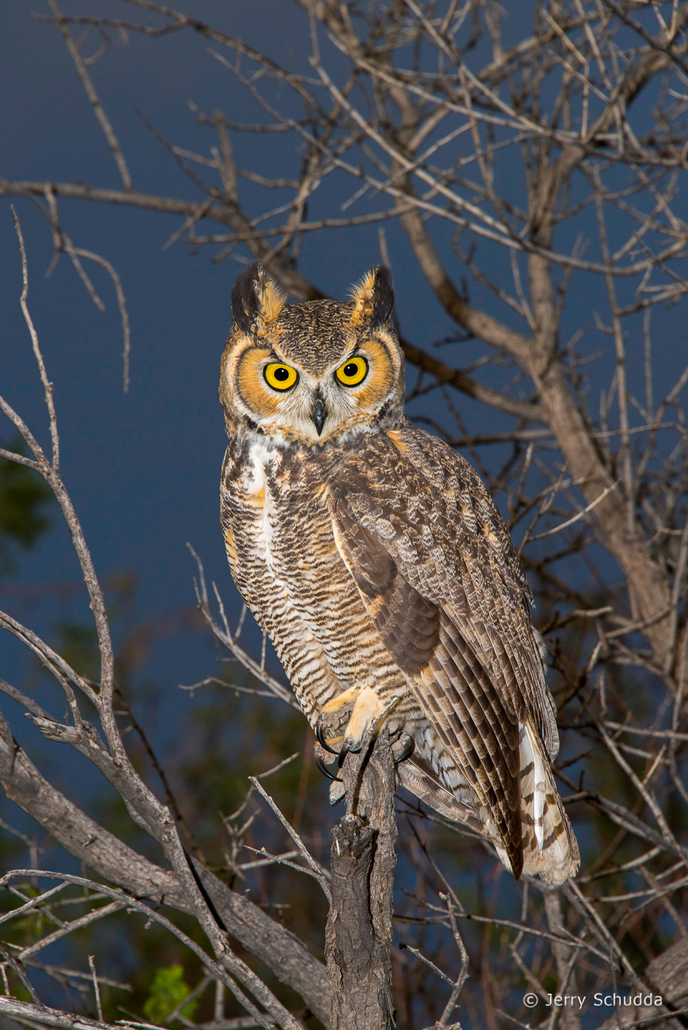 Great Horned Owl 10