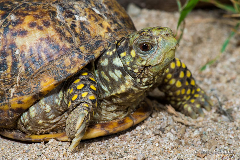 Ornate Box Turtle 2
