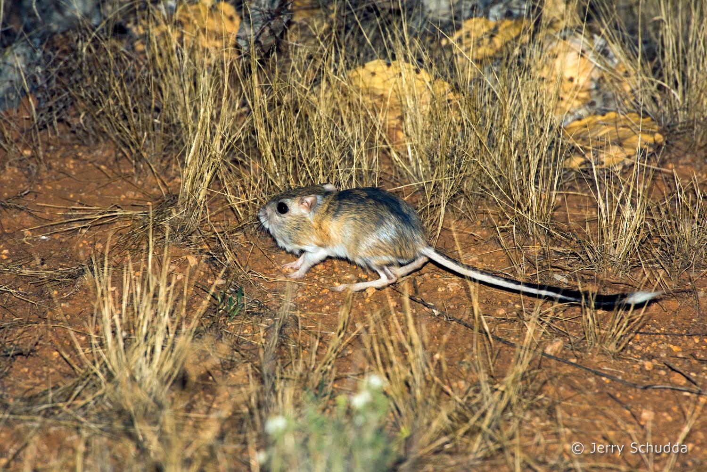 Banner-tailed Kangaroo Rat