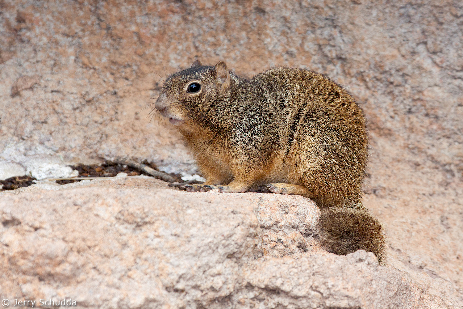 Rock Squirrel 1