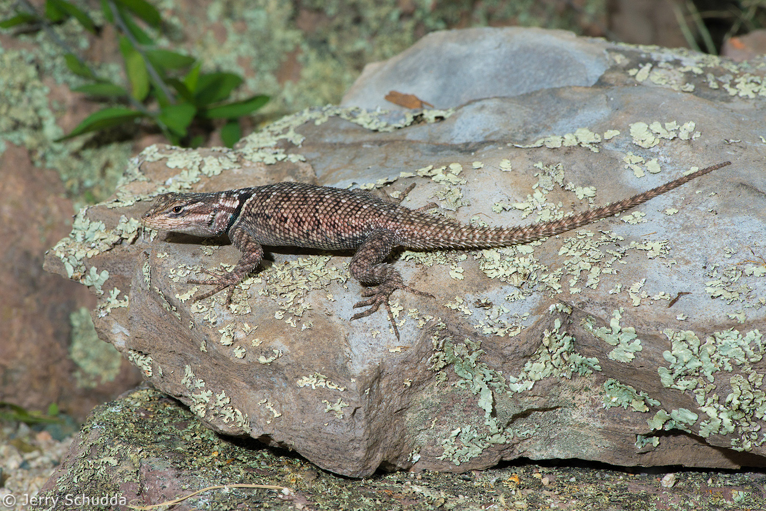 Mountain Spiny Lizard 3