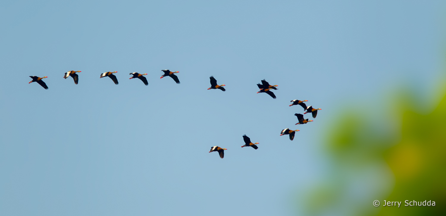 Black-bellied Whistling-Duck  1