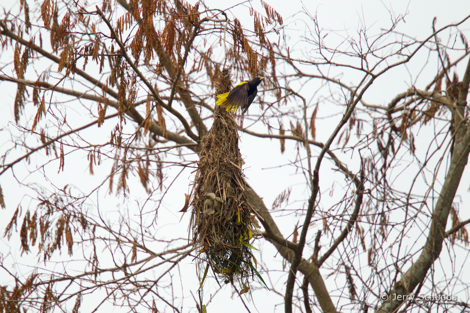 Yellow-winged Cacique 3