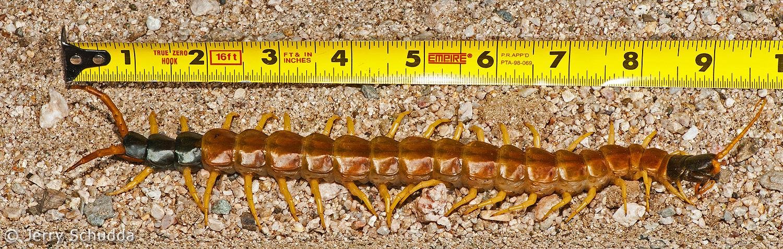Giant Desert Centipede 1