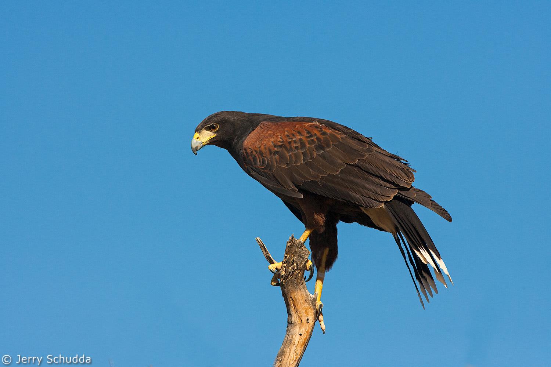 Harris' Hawk 1