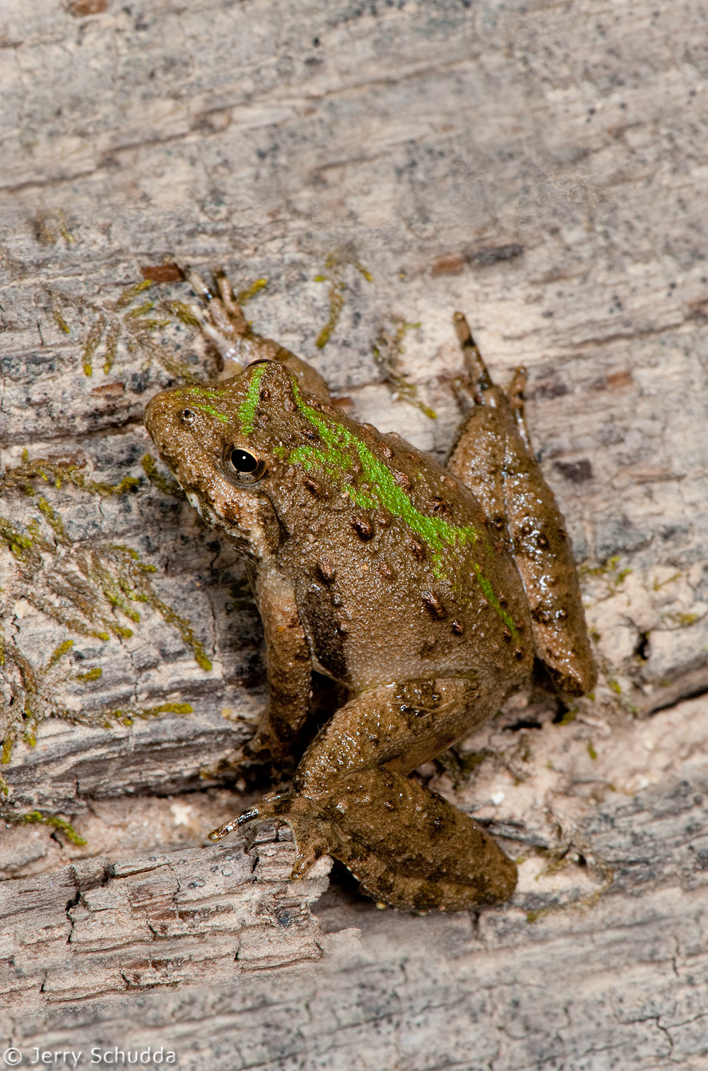 Northern Cricket Frog 2